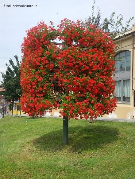 Un albero di gerani edera in Piemonte