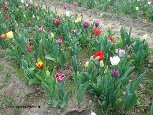 Campo di Tulipani Italiani 208