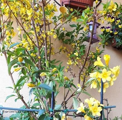 Gelsomino giallo, Forsithia e Violette