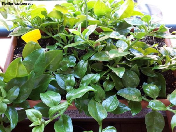Come ottenere nuove e graziose piante succulente a basso costo