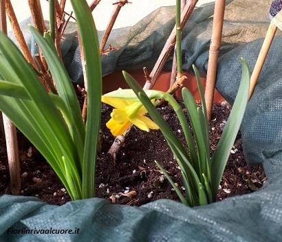 Inizia la fioritura dei bulbi di Narcissus Cyclamineous Tête a Tête