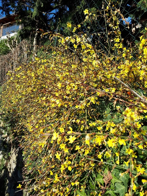 La fioritura del gelsomino d'inverno in Montevecchia